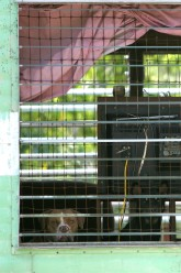 ###Robert Freeman in Citra mobile home### Two dogs in the moile home that Robert Freeman lives in look out from inside his mobile home with fencing from inside. Freeman's dogs killed Alice Broom, 81, in December 2003, in front of her home on Northeast 18th Avenue, Citra, Tuesday afternoon, May 10, 2005, Citra, FL, USA. (Jannet Walsh/Star-Banner)2005