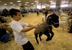 ###Ocala Star-Banner - Mock lamb auction at Southeastern Livestock Pavilion, Ocala, FL - contact photographer at 352-598-7976### Leaping Lambs - Erick Gonzalez(cq) age 10, of Citra, tries to control is Spring born lamb, an ewe named Manessa(cq) during a mock lamb acuction at Southeastern Livestock Pavilion, Saturday morning, January 14, 2006, Ocala, FL. ( Jannet Walsh/Star-Banner)2006