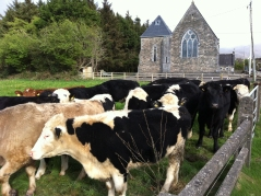 Glenflesk Parish Church cows, Ireland. Photo by Jannet Walsh. ©2018 Jannet Walsh. All Rights Reserved.