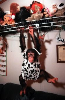 Rock the Chimp - Rocky the chimp at home with his family and owners Yvonne and Justin Finser, Umatilla, Florida, 1998. Photo by Jannet Walsh, STAR-BANNER, Ocala, Florida.